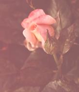 Roza piekny kwiat